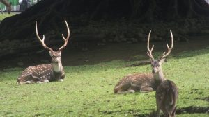 The white spotted deer chittai axis axis