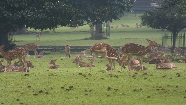 The White Spotted Deer
